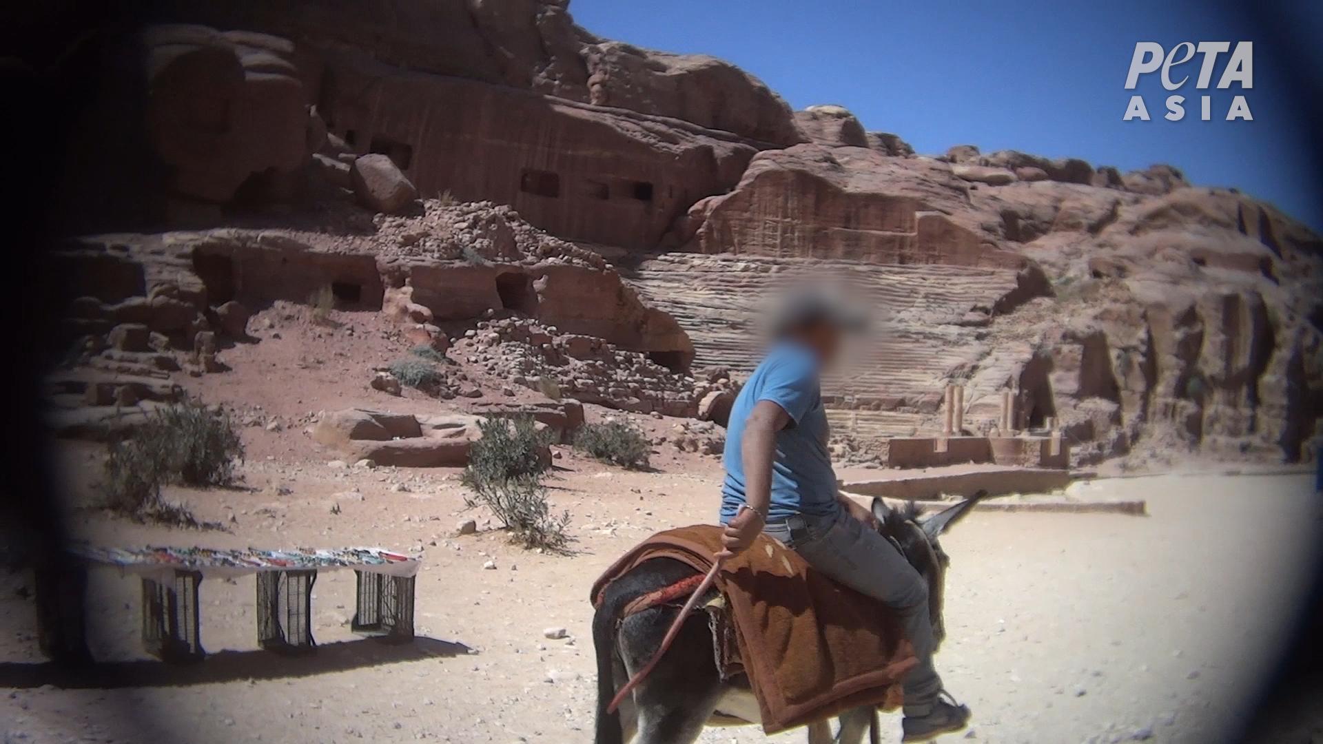 An abused donkey in the Jordanian Petra Park. (Courtesy PETA)