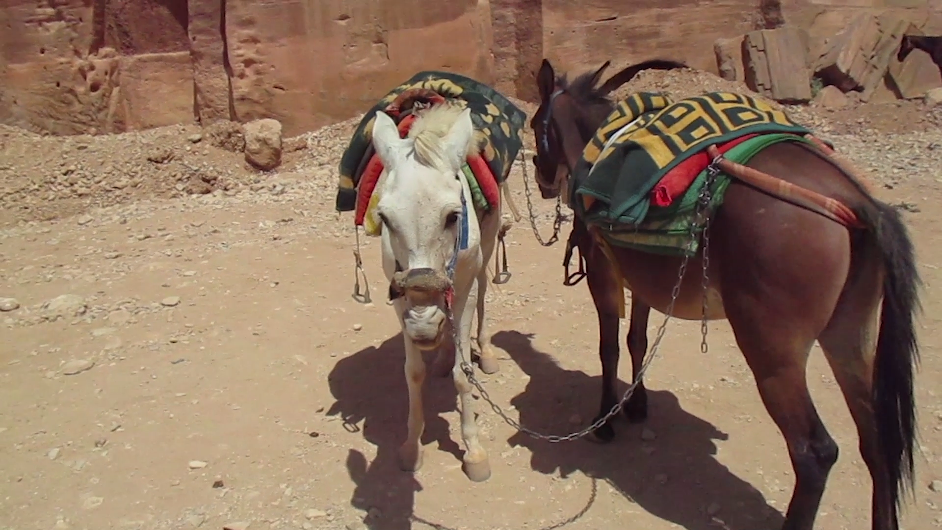 Dehydrated donkeys in Petra Park in Jordan. (Courtesy PETA)