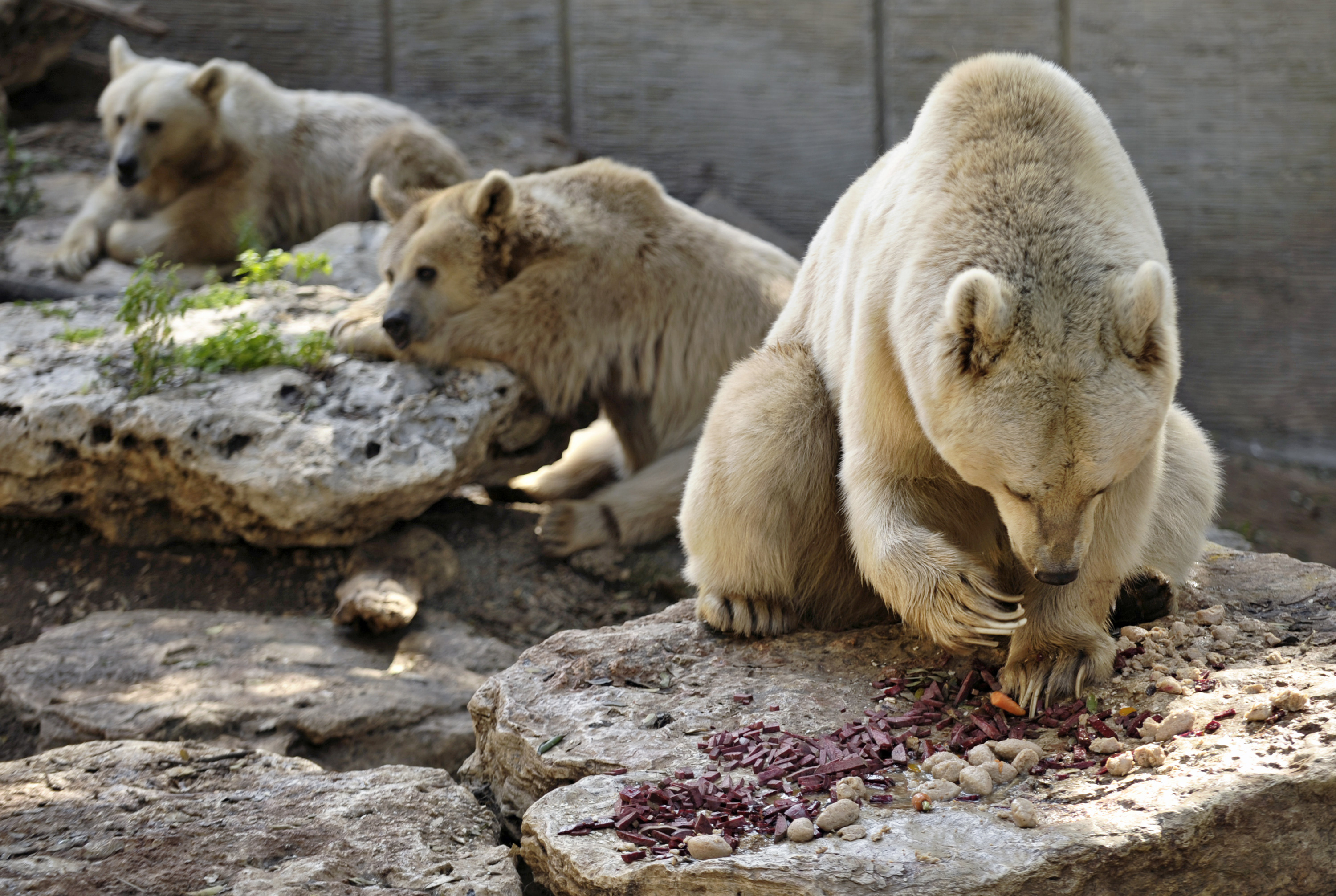 A Syrian brown bear eats the traditional gefilte fish in preparation for the Jewish holiday of Passover, at the Ramat Gan Safari Park near Tel Aviv in 2009 (Amir Cohen/REUTERS)