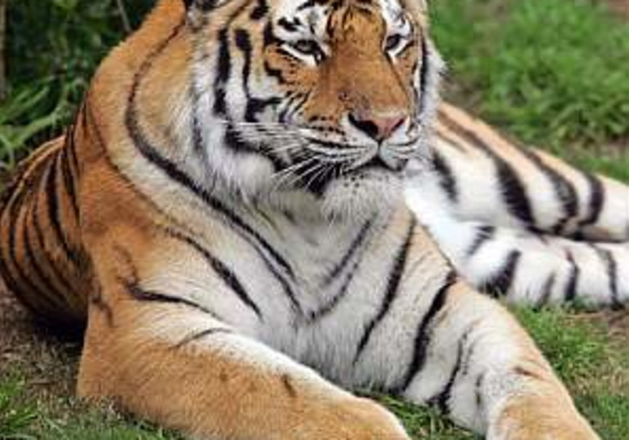 At the Zoo: Tigers have visitors seeing stripes