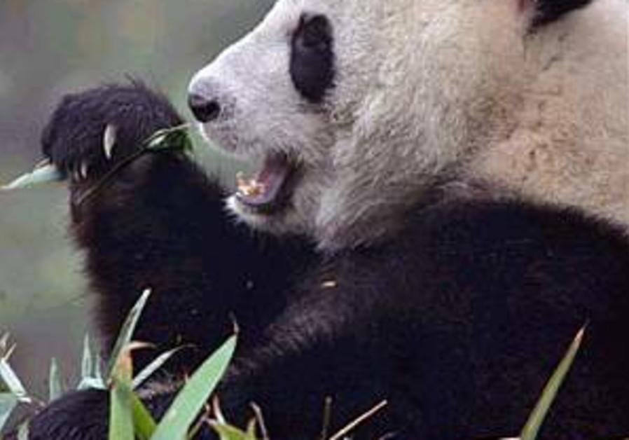 Panda poop used as raw material for paper