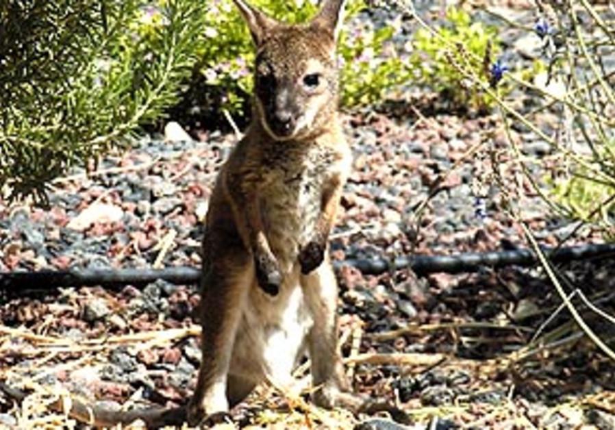 baby kangaroo 88 298