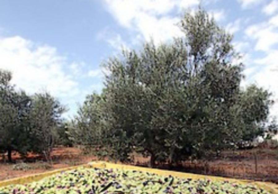 olive grove 248.88 AJ
