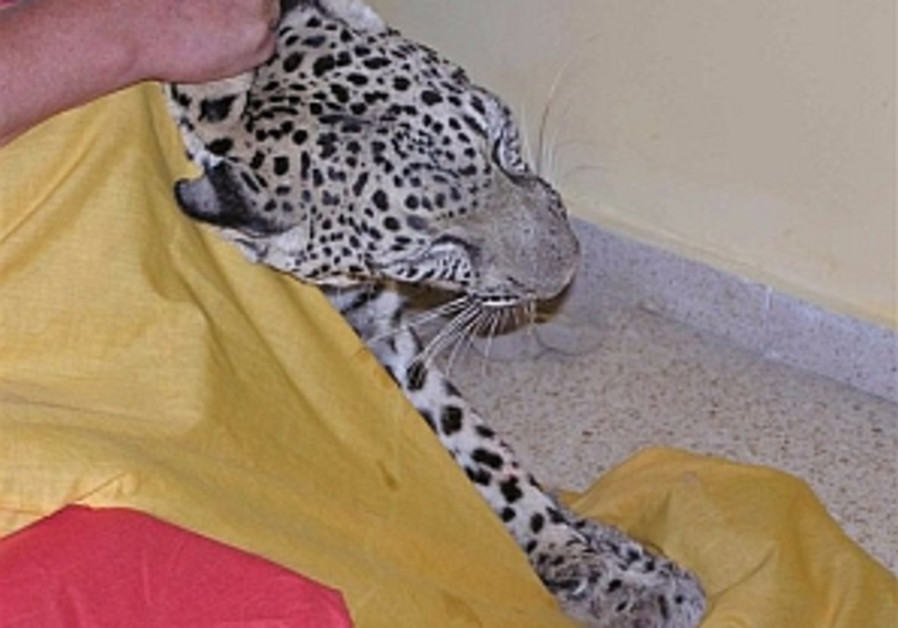 Man catches leopard in his bedroom