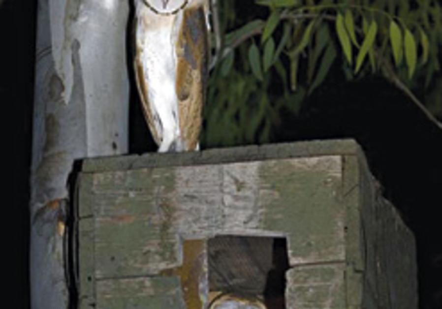 barn owls nesting 248.88