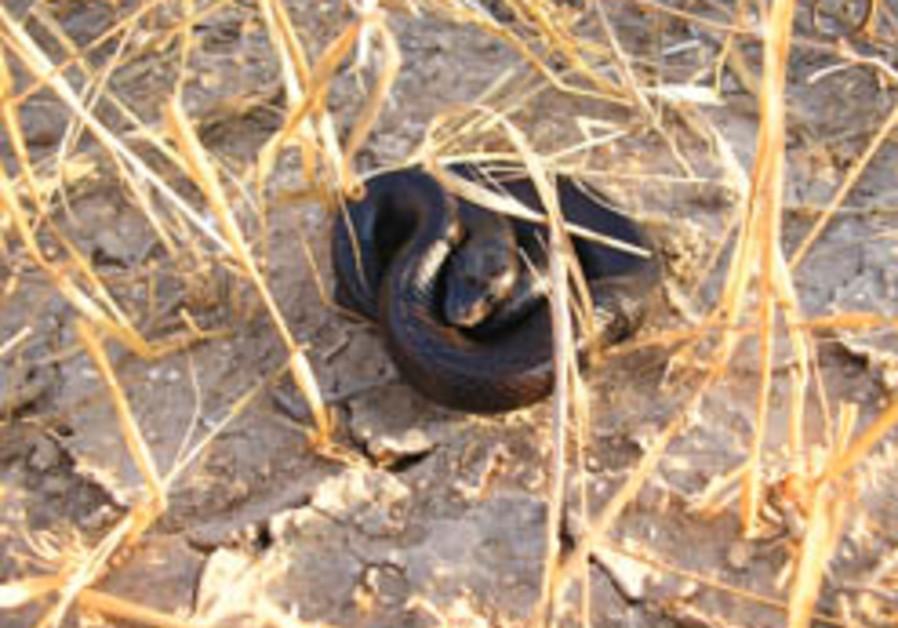 black racer snake 248.88