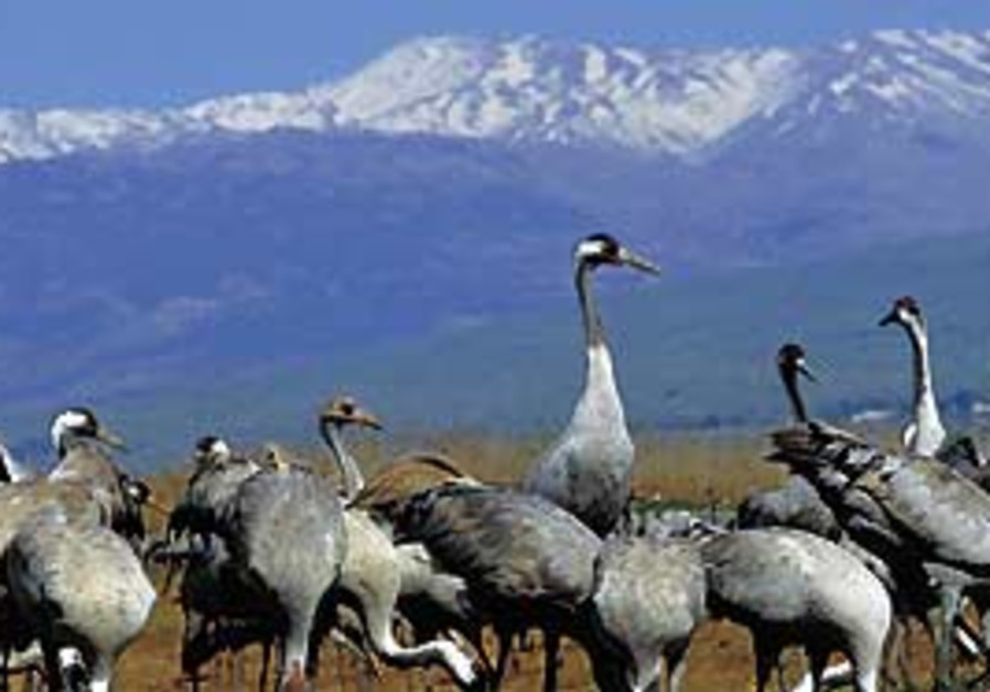 Cranes in the Hula Valley.
