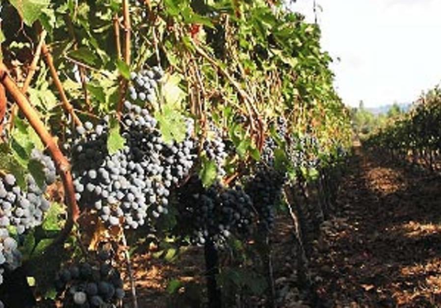 Kibbutz Tzova vineyards