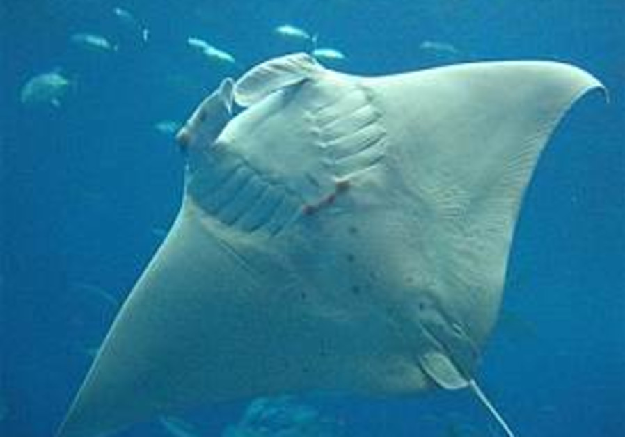 Rare giant manta born at Japan aquarium