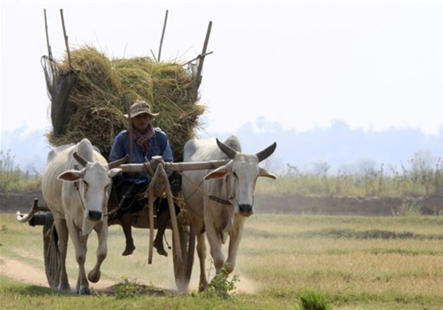 A Cambodian farmer uses an ox-cart for transportin