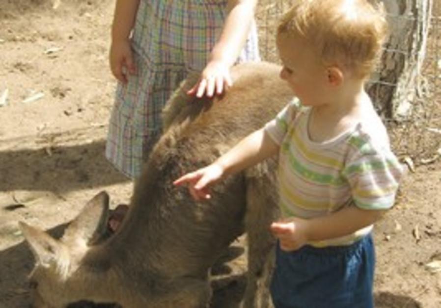 GAN GUROO near Kibbutz Nir David is the only place outside Australia where kangaroos roam free, acco