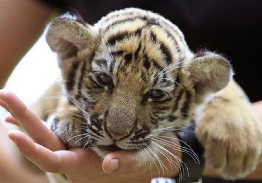 Thai veterinarian Phimchanok Srongmongkul holds a baby tiger cub after feeding at the Wildlife Healt