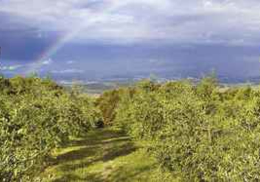 Olive Groves at Montali