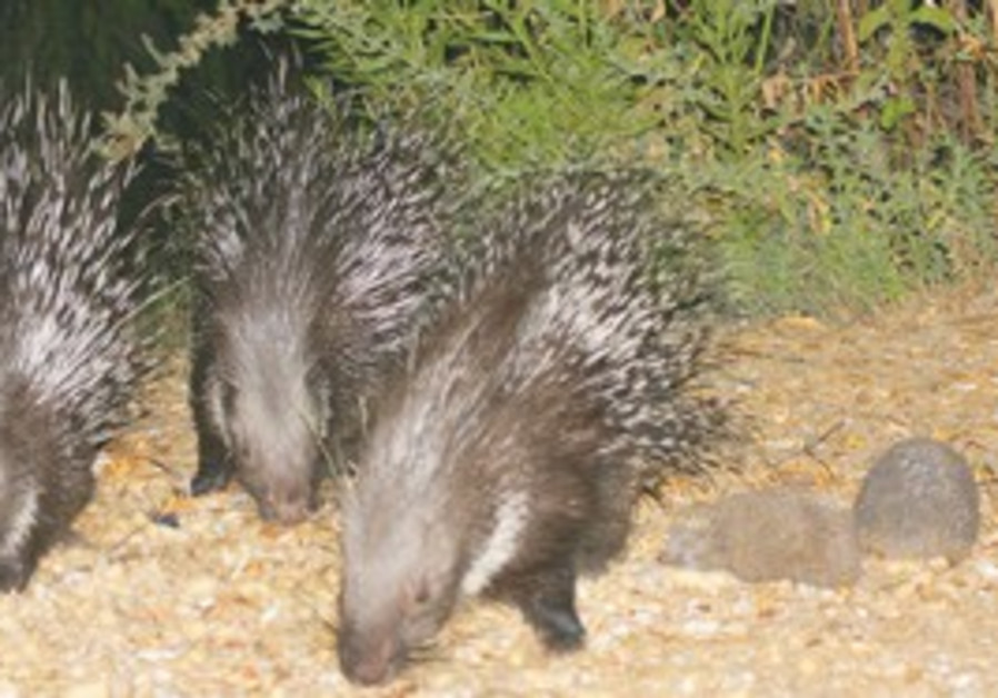 PASS THE PRICKLES: Three porcupines and two hedgeh