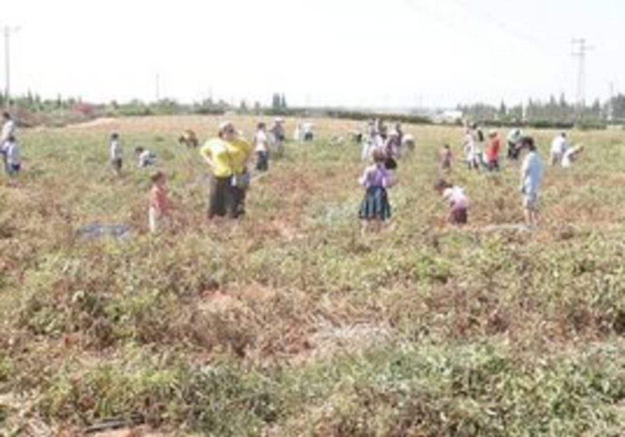 Volunteers picking tomatoes for the needy.