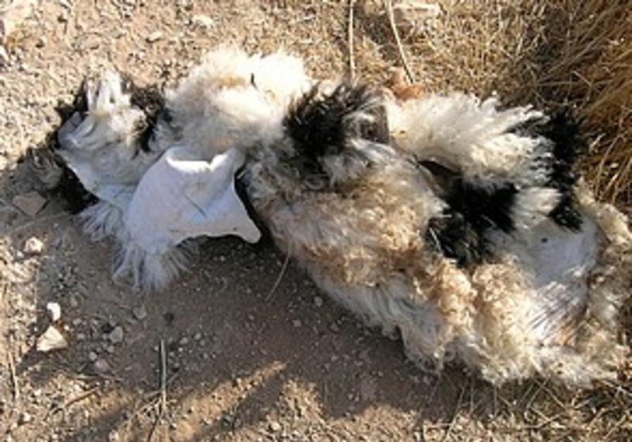 Terror suspect hides bomb in lamb