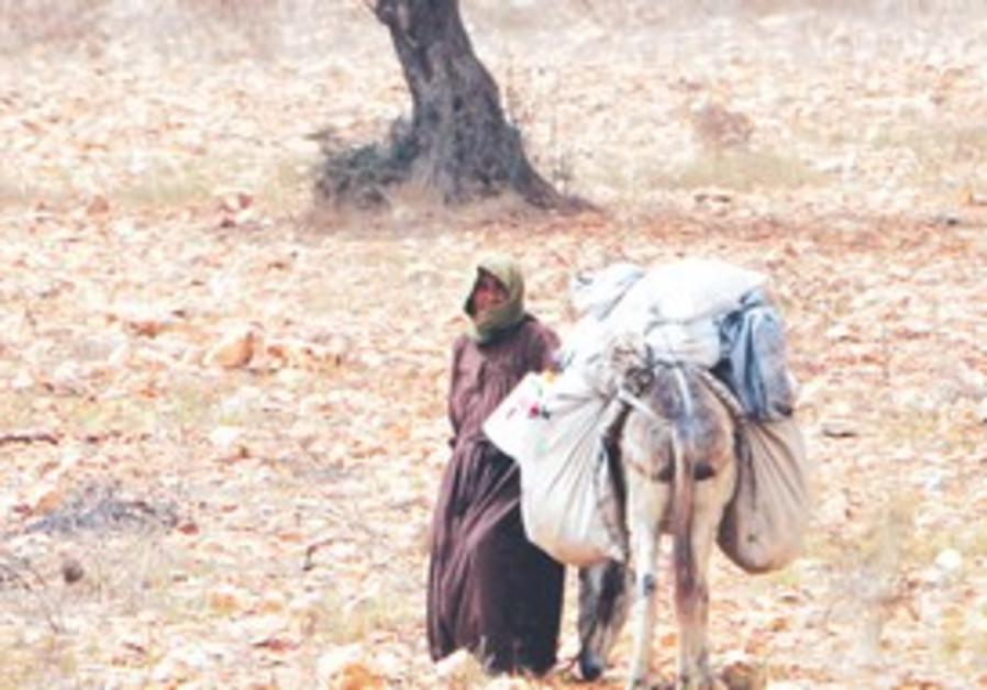 A PALESTINIAN walks with her donkey through an oli