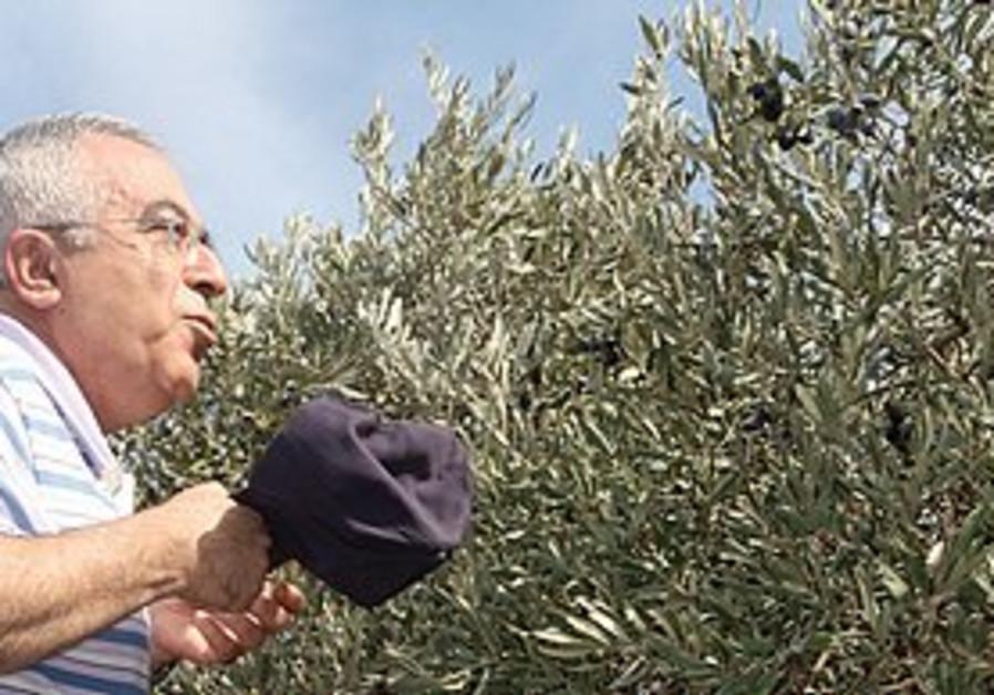 Salam Fayyad at an olive harvest.