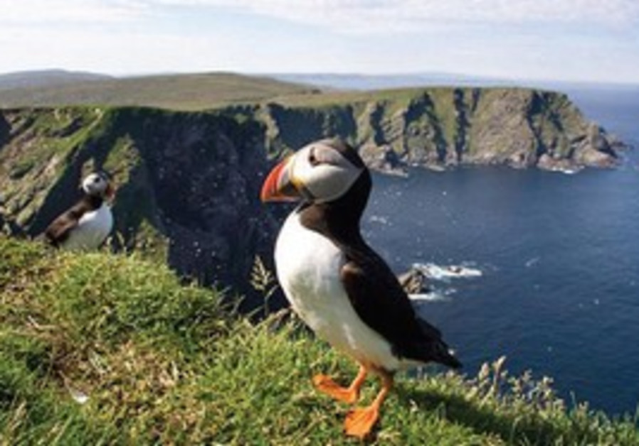 CLASSIC SHETLAND: Puffins perched on an island