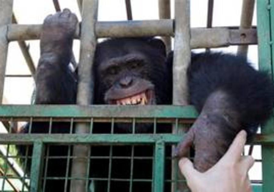 Omega, a 12-year-old chimpanzee