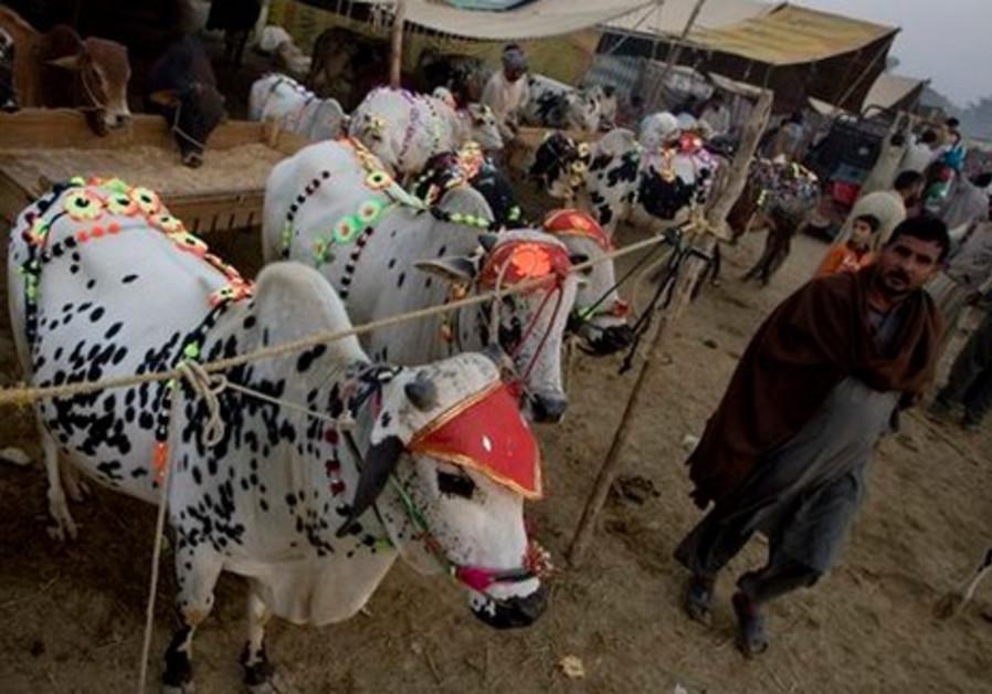 Cows in Pakistan dressed to celebrate Eid al Adha