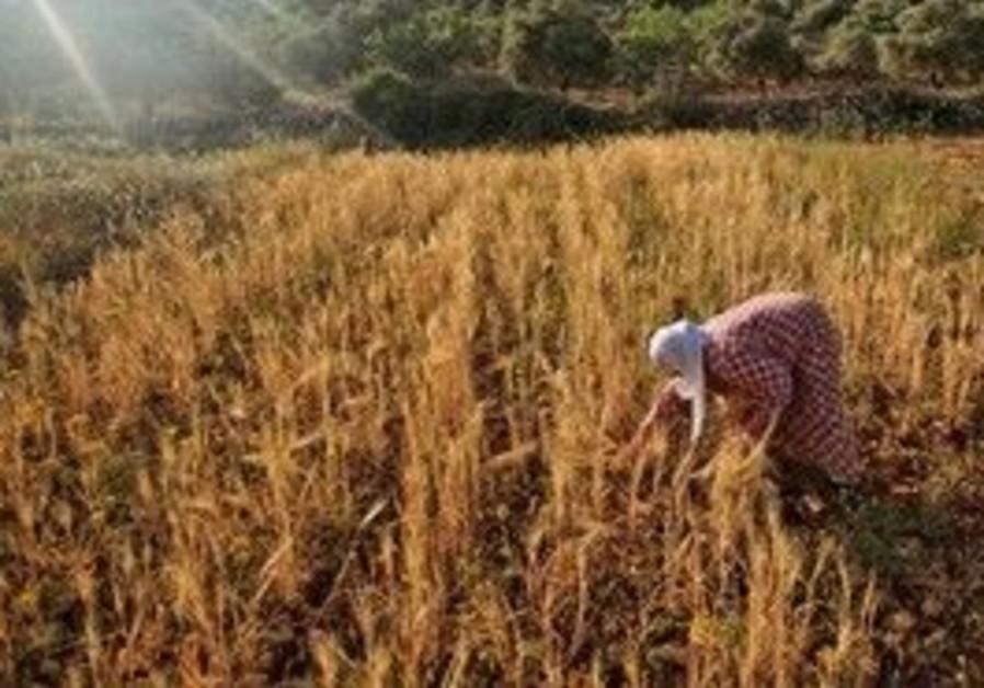 Palestinian wheat farmer [illustrative]
