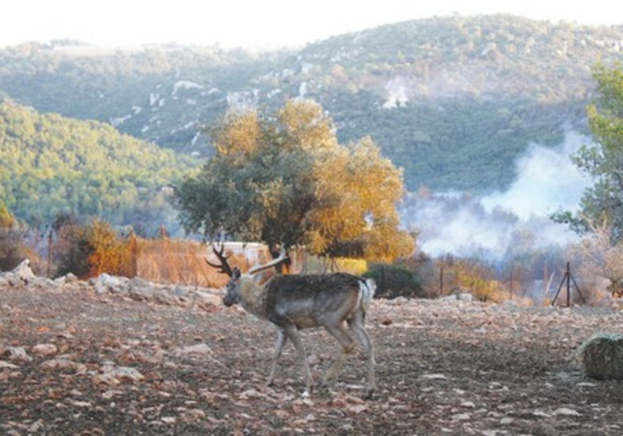 A deer amidst Carmel fire damage