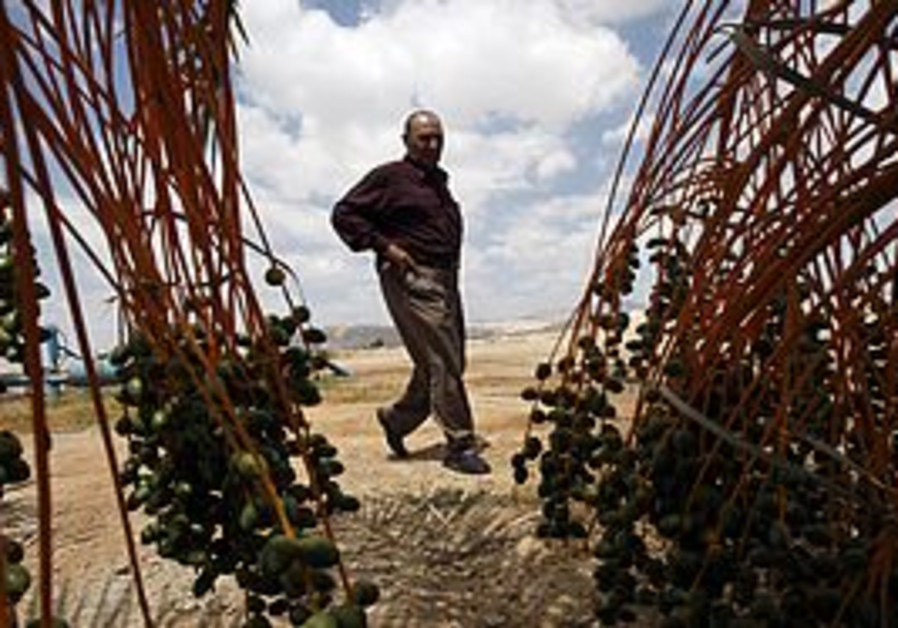 A Palestinian date farmer (Illustrative)
