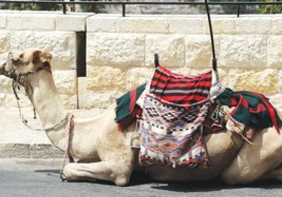 Kojak the camel.