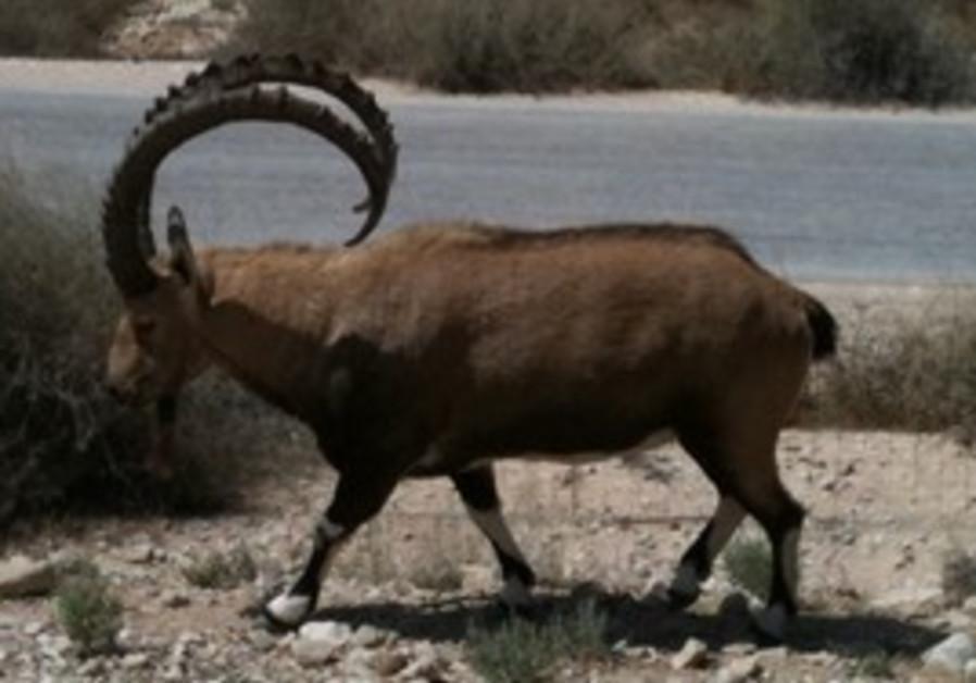 Ibex  near Ein Gedi