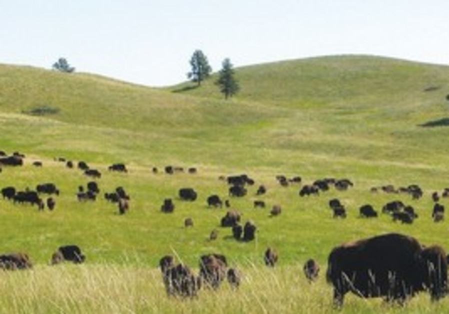 Buffalo in South Dakota's Black Hills