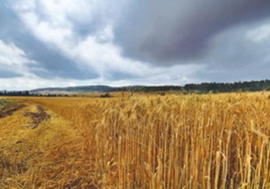 Wheat field (illustrative).