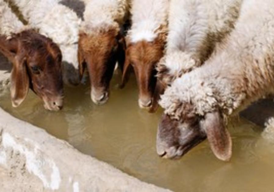 Sheep dring from cistern in desert near Bethlehem