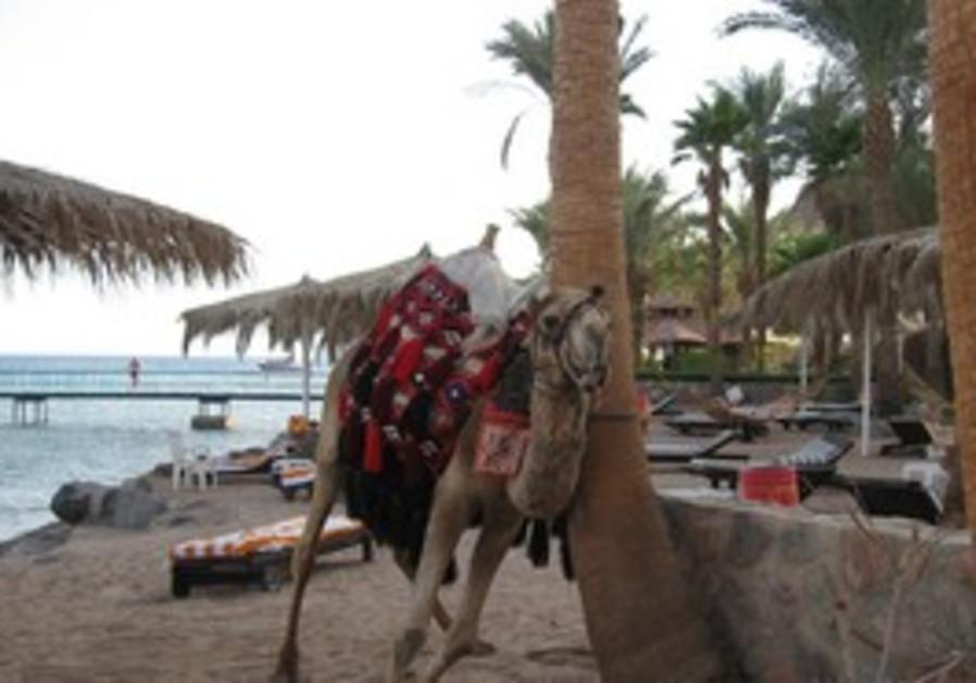 Camel in Taba