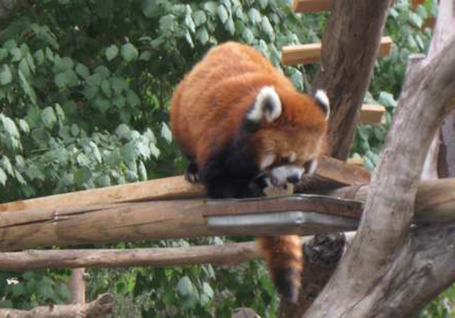 A rare glimpse of the red panda.