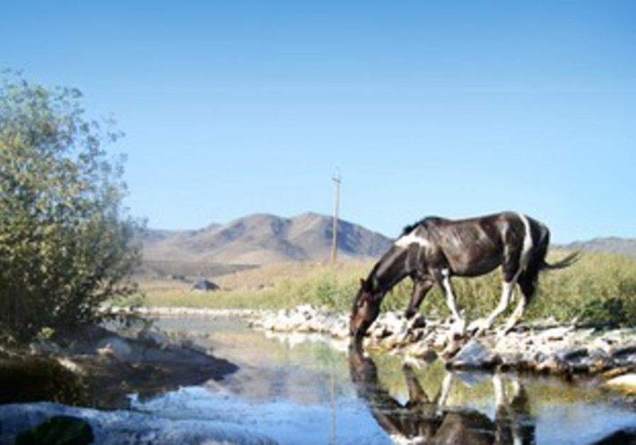 Horse drinking from water