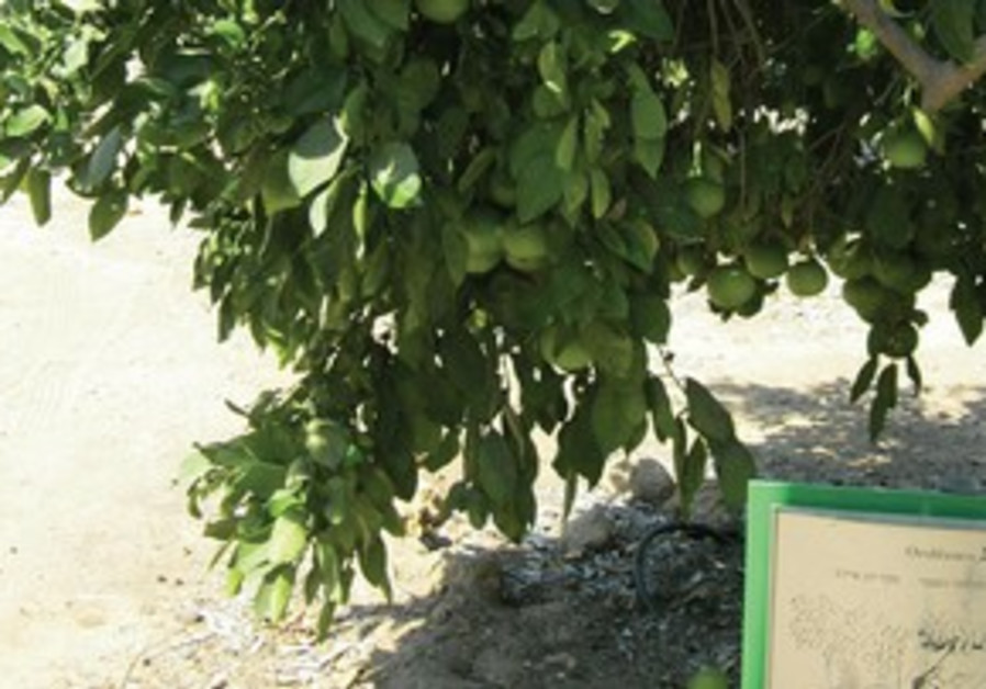 Early ripening oroblancos, 'pomelit' in Hebrew
