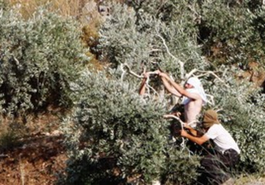 Settlers breaking olive tree branches [file]