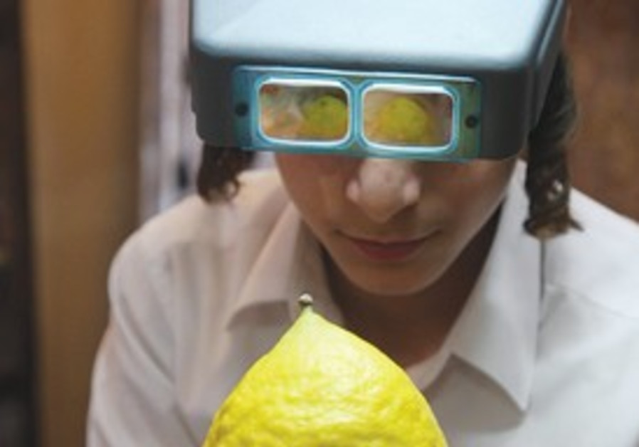 A YOUNG haredi man inspects a citrus in succa