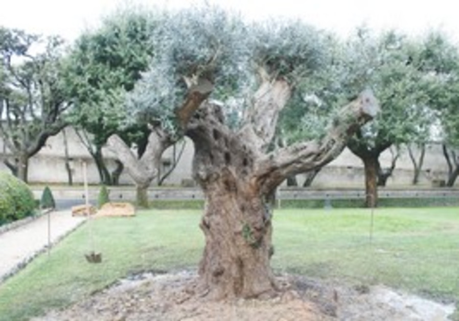 Olive tree given to pope by PM Netanyahu
