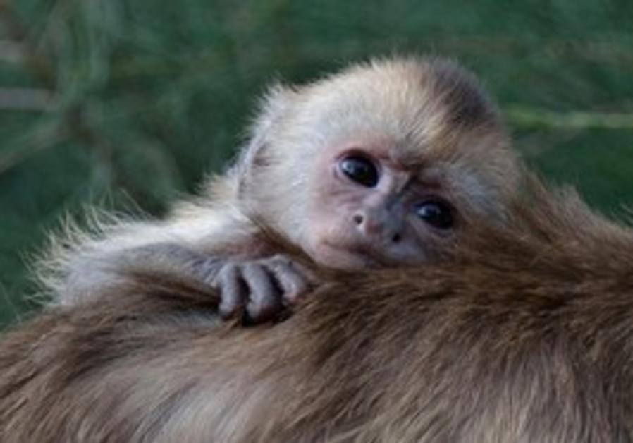 Capuchin Monkey born in Ramat Gan