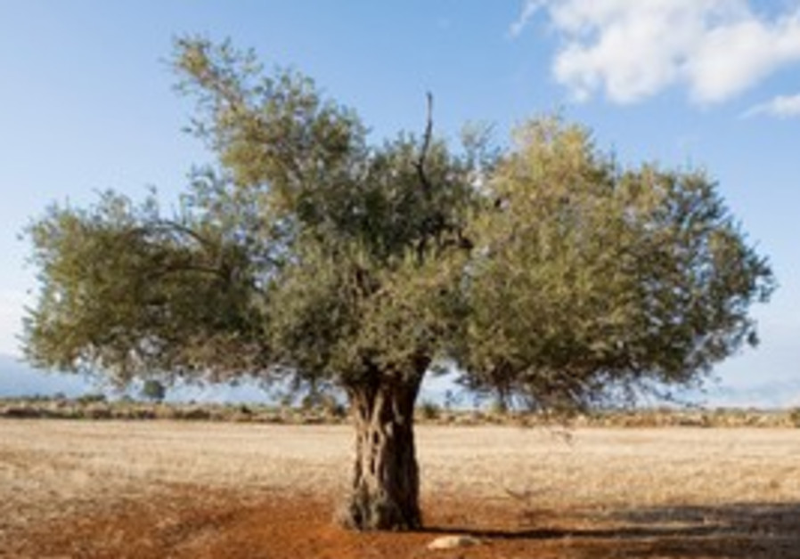 Olive tree (illustrative)
