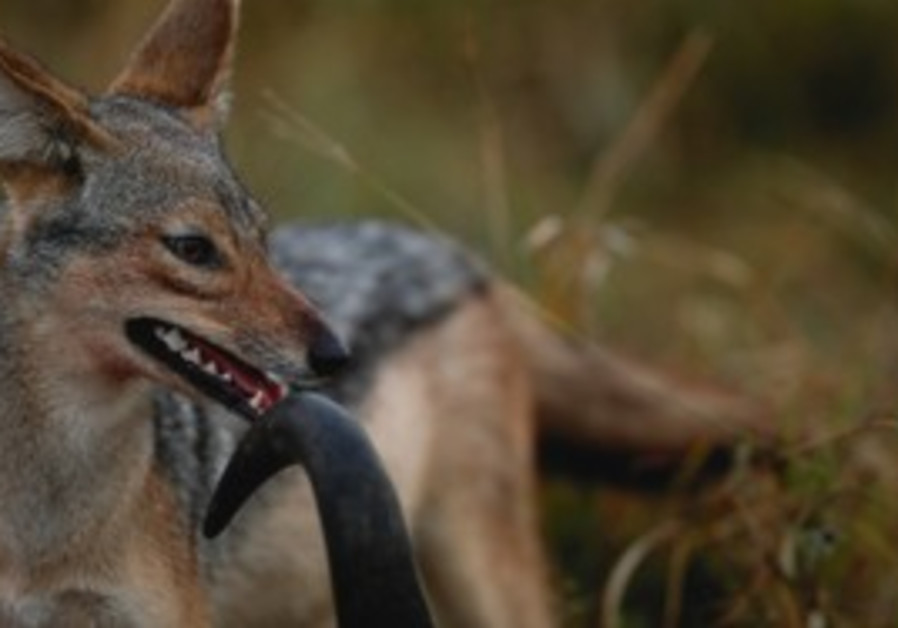 Black backed jackal [illustrative].