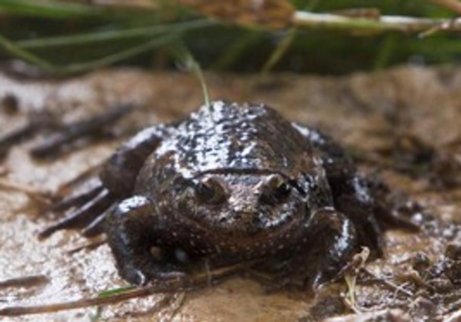 A Hula painted frog