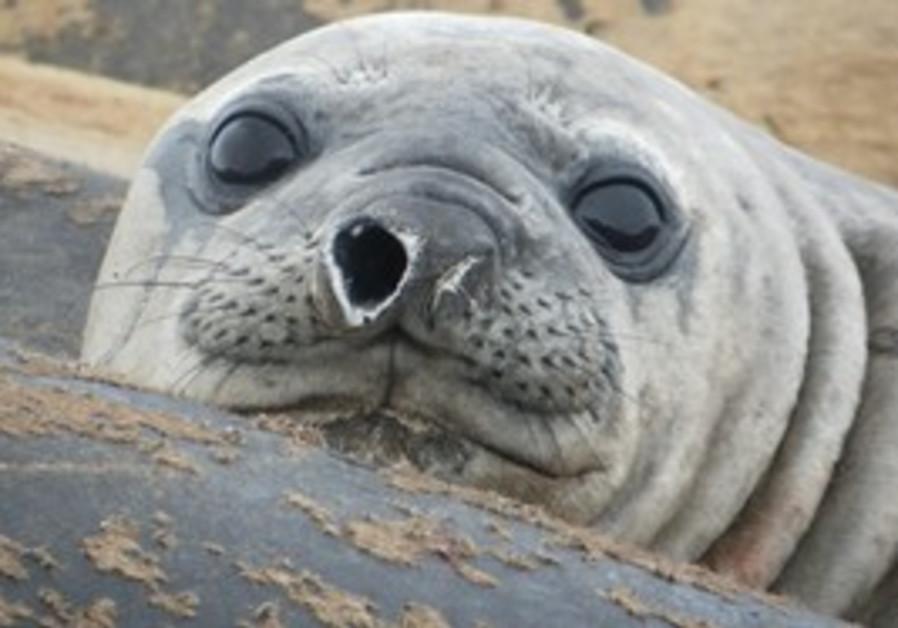 Jackson the elephant seal