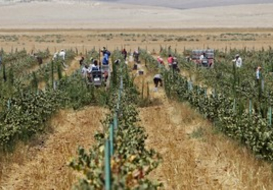 Grape farm, Mafraq, Jordan