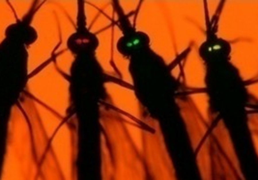 Normal v genetically engineered mosquitos