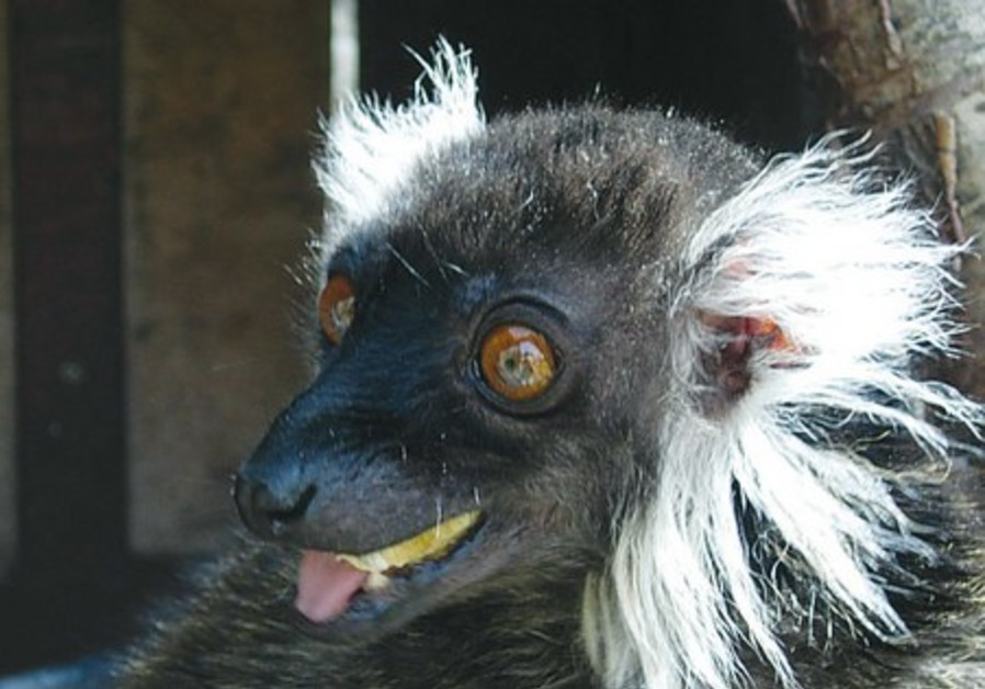 Female lemur