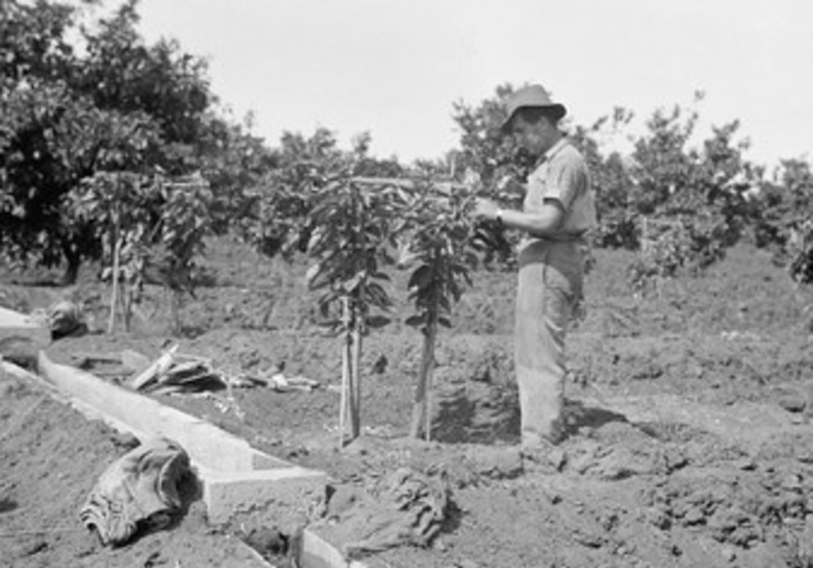 Jewish farmer pruning an orange tree