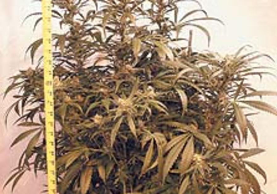 marijuana 88 224
